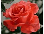 MR-Q2158 Картина раскраска Коралловая роза Mariposa