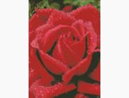 Цветы и букеты Душистая роза