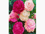 Букеты и натюрморты: картины без коробки Пионы в моем саду