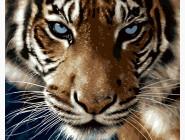 Животные и рыбки Взгляд тигра