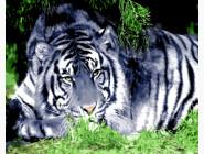 Животные и рыбки Белый тигр