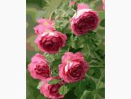 Цветы, натюрморты, букеты Садовые розы