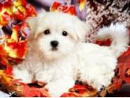Новинки алмазной вышивки Милый щенок (GD71553)
