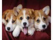 Новинки алмазной вышивки Три щенка (GD72206)