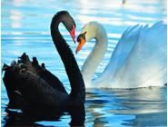 Новинки алмазной вышивки Белый и черный лебеди (GL70072)
