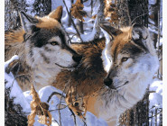 Животные и рыбки Волчье верность