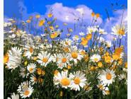 Цветы, натюрморты, букеты Поле ромашок