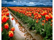 Море тюльпанов