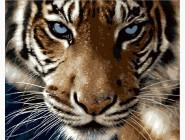 Взгляд тигра